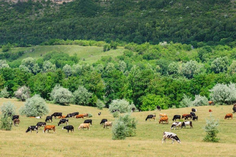 Коровы табунят пасти на луге стоковые изображения