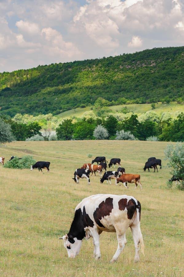 Коровы табунят пасти на луге стоковое изображение rf