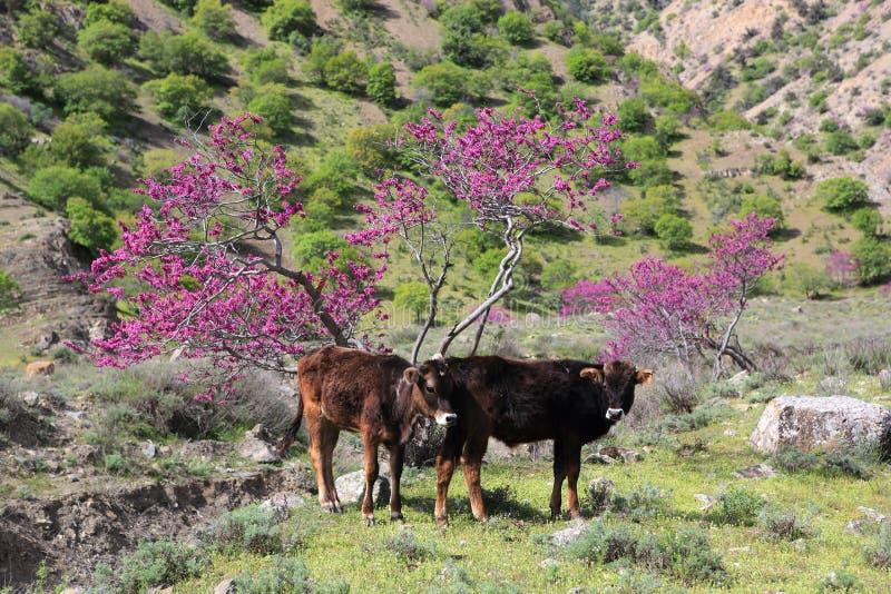Коровы туркмена в горах стоковые изображения rf