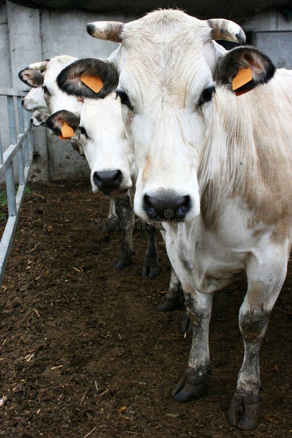 коровы 3 стоковые фотографии rf