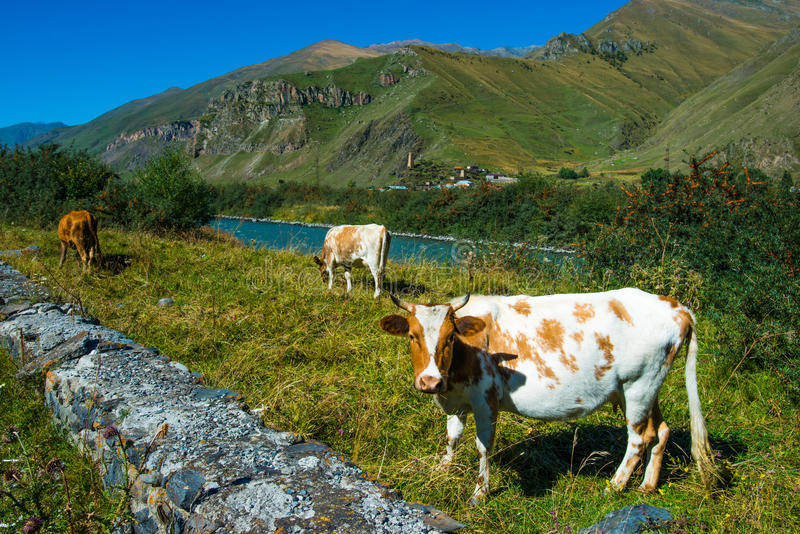 Download Коровы стоковое фото. изображение насчитывающей село - 33726324