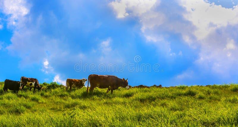 Download коровы стоковое фото. изображение насчитывающей коровы - 41657496