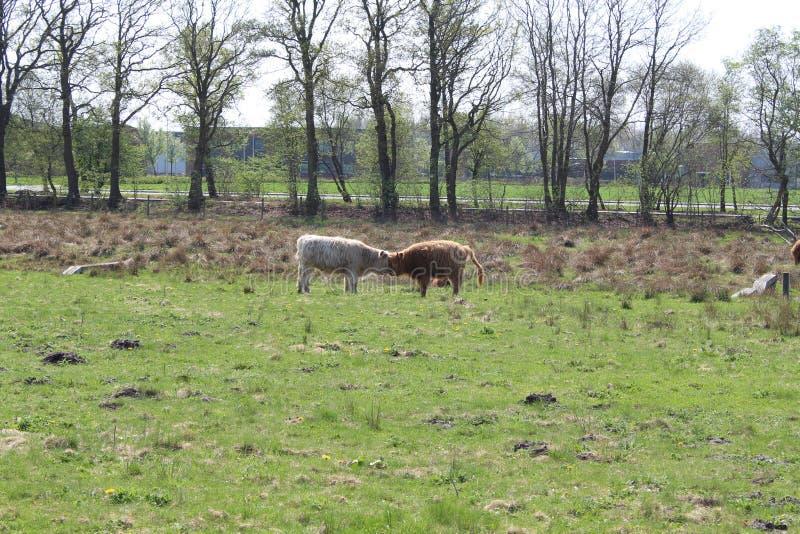 Коровы Bumping головы стоковые фото