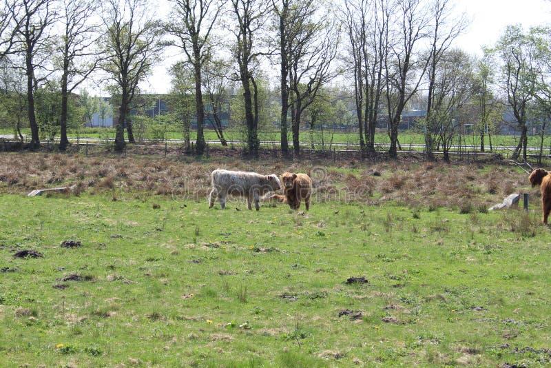 Коровы Bumping головы стоковые фотографии rf