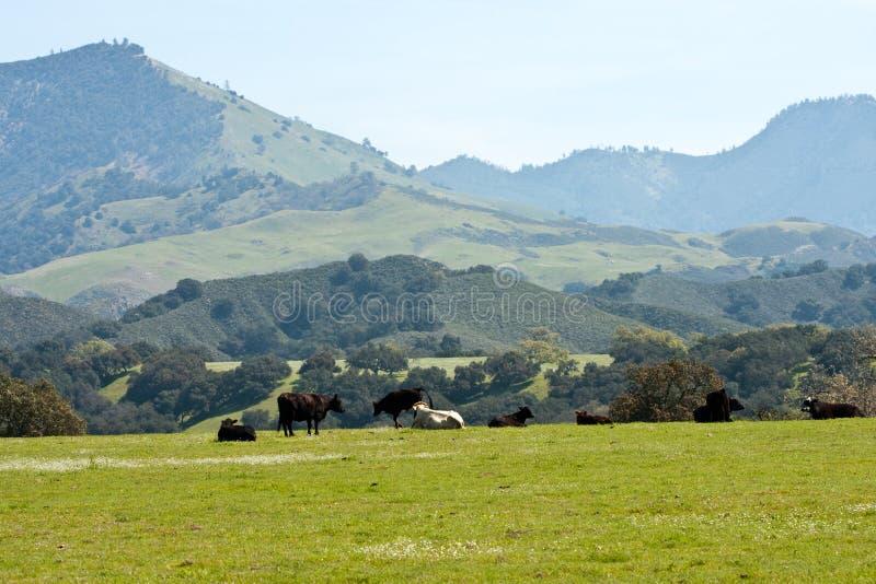 коровы california наслаждаясь величественным взглядом стоковое изображение