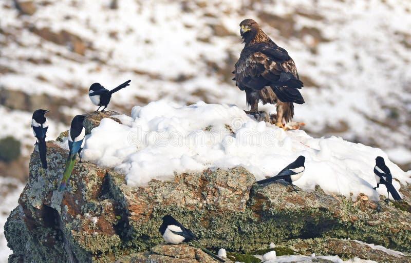 Королевские окуни орла на утесе окруженном сороками стоковое фото