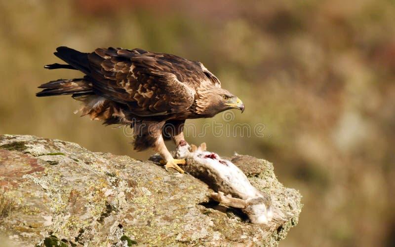 Королевские окуни орла на утесе рядом с запрудой стоковое фото