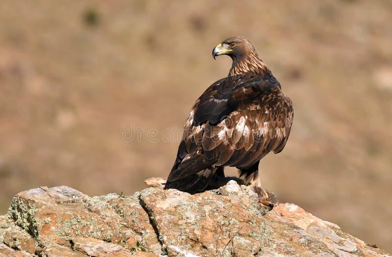 Королевские окуни орла на утесе рядом с запрудой стоковое изображение