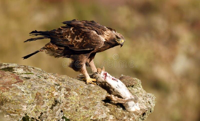 Королевские окуни орла на утесе рядом с запрудой стоковые фотографии rf