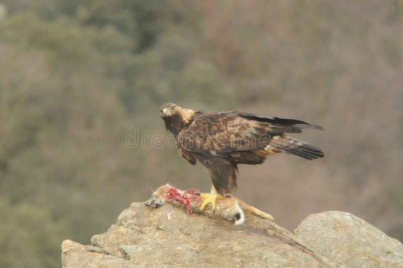 Королевский орел в Сьерра  vila àстоковое изображение rf