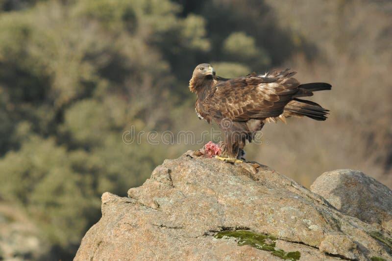Королевский орел в Сьерра  vila à стоковое фото