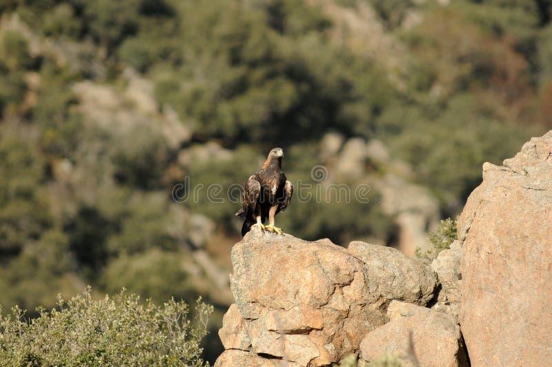 Королевский орел в abulense Сьерра стоковые фотографии rf