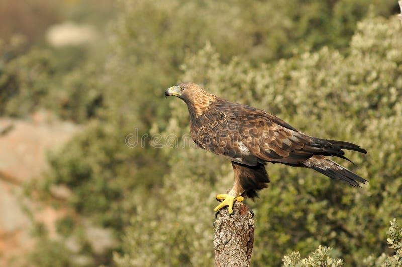 Королевский орел в abulense Сьерра стоковые фото