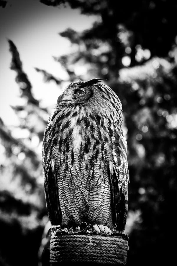 Королевский сыч в дисплее хищных птиц, силы и размера стоковое фото