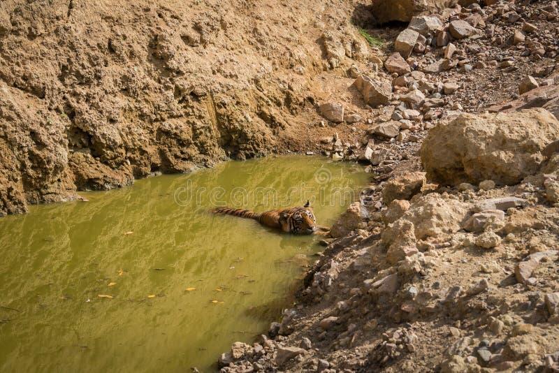 Королевский тигр Бенгалии мужской отдыхая около тела воды Животное в зеленой предпосылке около потока леса на национальном парке  стоковые изображения