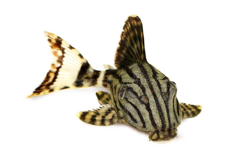 Королевское nigrolineatus Pleco Panaque, или королевские рыбы аквариума plec стоковое изображение rf