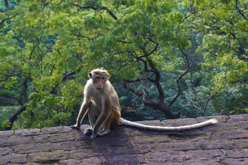 Король джунглей, обезьяны макаки на руинах, Шри-Ланки стоковые изображения rf