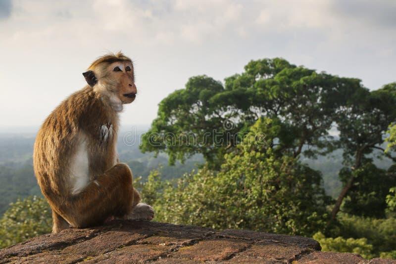 Король джунглей, обезьяны макаки на руинах стоковое фото rf
