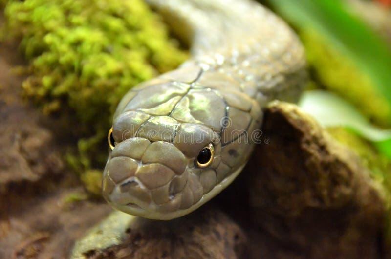 Король кобра стоковые фотографии rf