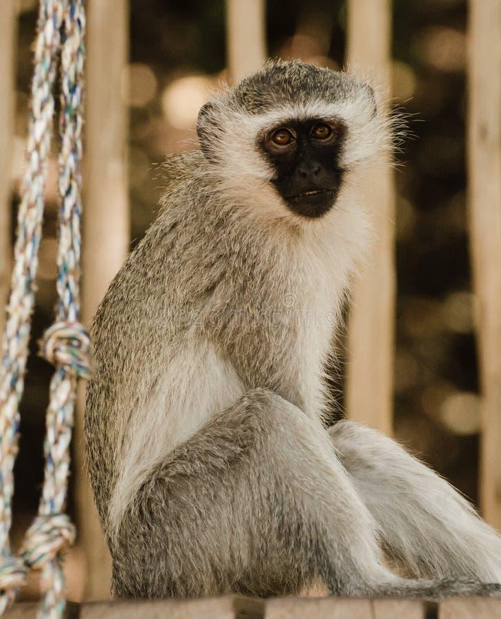Король обезьян стоковая фотография