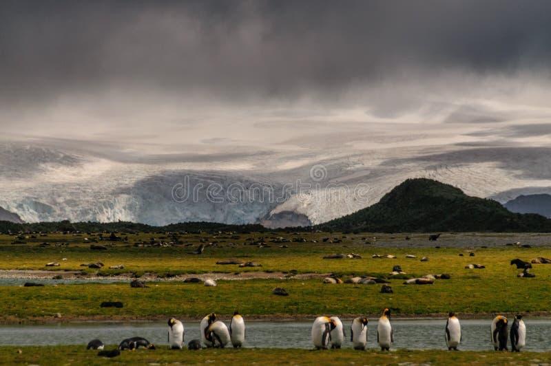 Король пингвины на равнинах Солсбери стоковая фотография