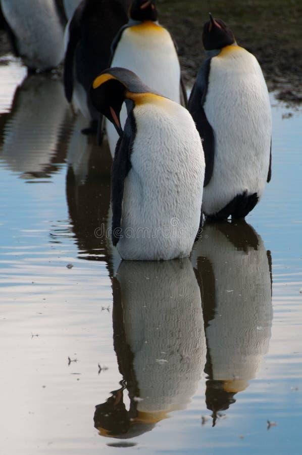 Король пингвины на равнинах Солсбери стоковые фотографии rf