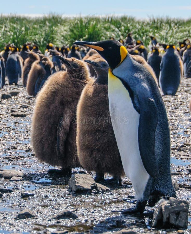 Король пингвины на равнинах Солсбери стоковые фото