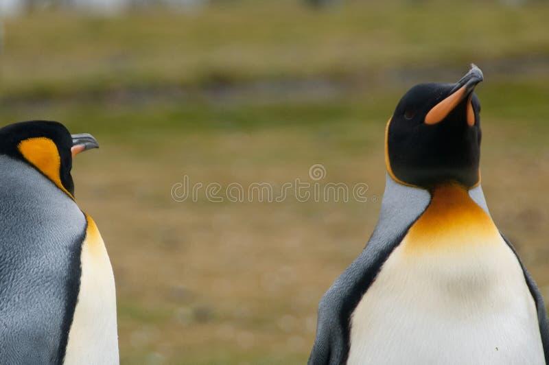 Король пингвины на равнинах Солсбери стоковая фотография rf