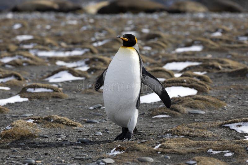 Король пингвин бежит на пляже на равнине Солсбери на Южной Георгие стоковое фото rf