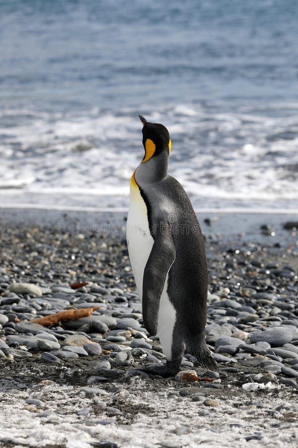 Король пингвин смотрит вне к морю в равнине Солсбери на Южной Георгие стоковая фотография rf