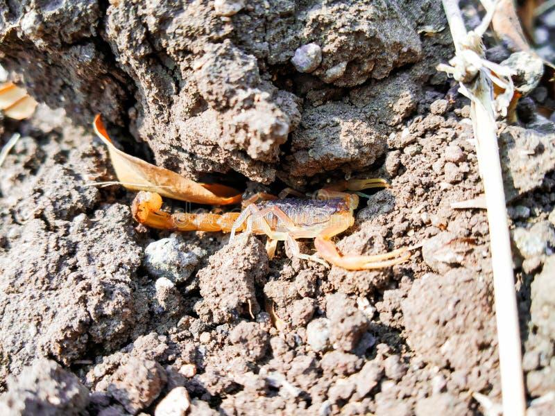 Король скорпиона стоковая фотография rf