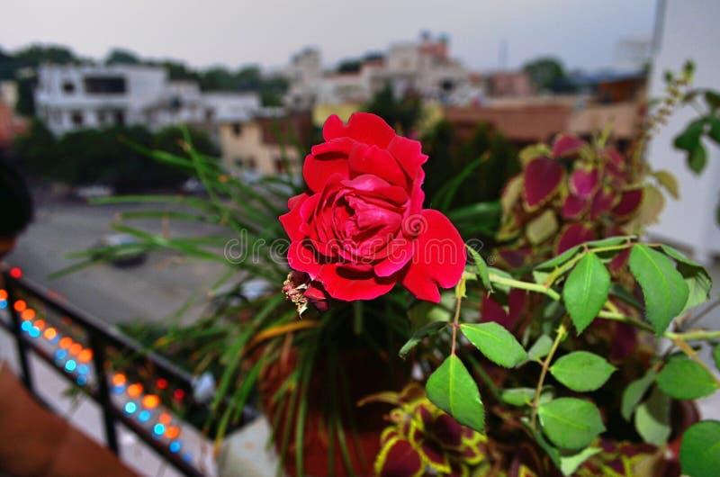 Король цветков стоковая фотография