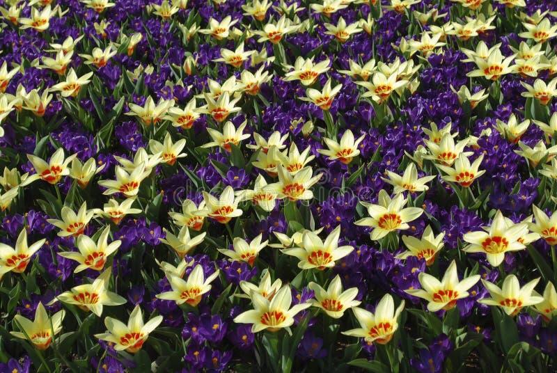 Корона тюльпана и показатель цветка крокуса, который выросли в парке стоковая фотография rf