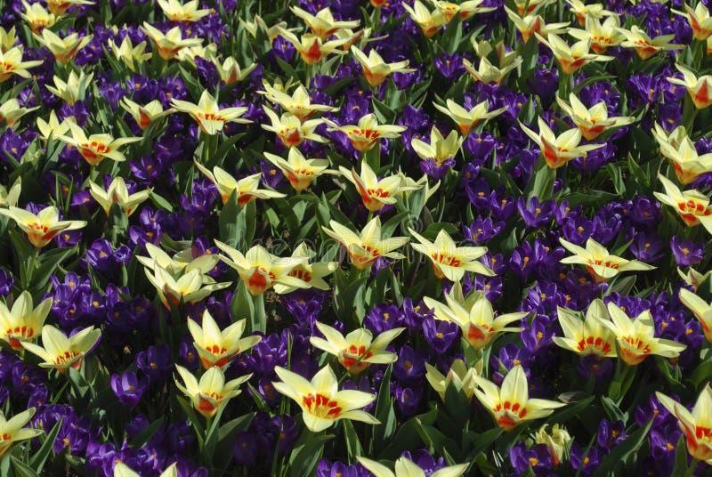 Корона тюльпана и показатель цветка крокуса, который выросли в парке стоковая фотография