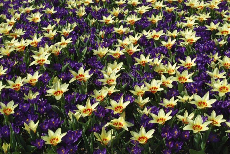 Корона тюльпана и показатель цветка крокуса, который выросли в парке стоковое изображение