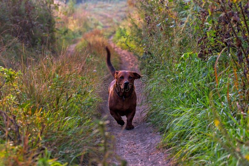 Короткие лапки коричневеют камеру дружелюбной шаловливой взрослой собаки причаливая на сухой тропе грязной улицы стоковое изображение rf