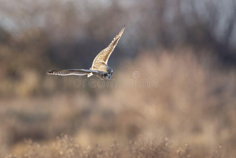 Короткоухая сова стоковая фотография