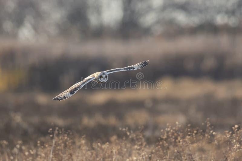 Короткоухая сова стоковые изображения rf