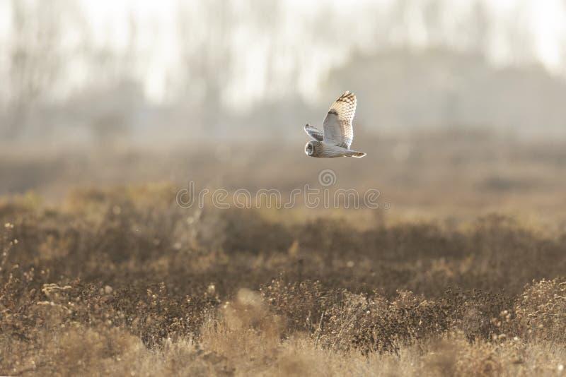 Короткоухая сова стоковое фото rf