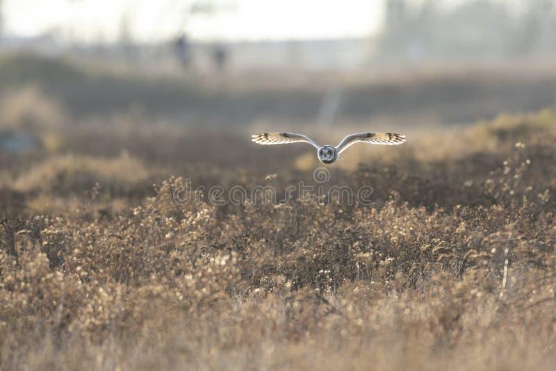 Короткоухая сова стоковое изображение rf