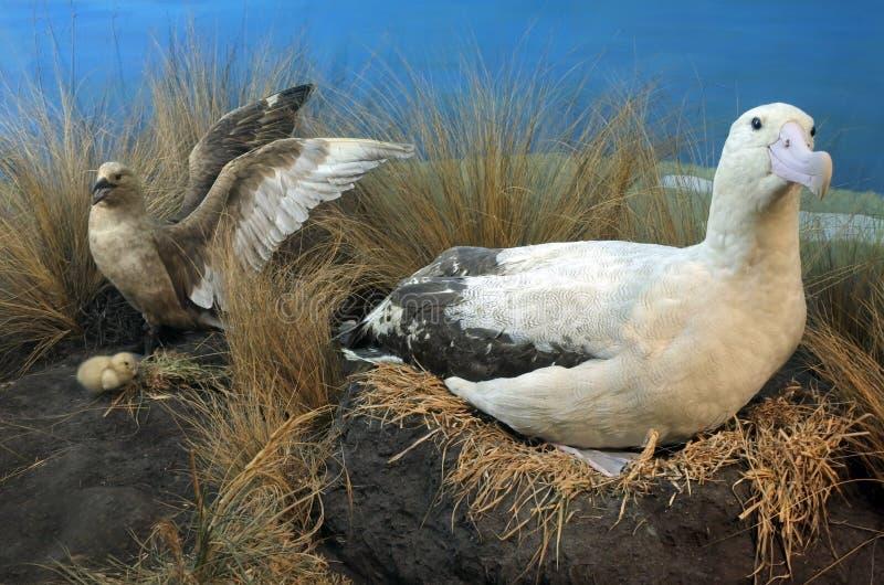 Коротк-замкнутая семья альбатроса стоковое фото
