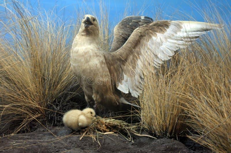 Коротк-замкнутые мать и цыпленок альбатроса стоковая фотография