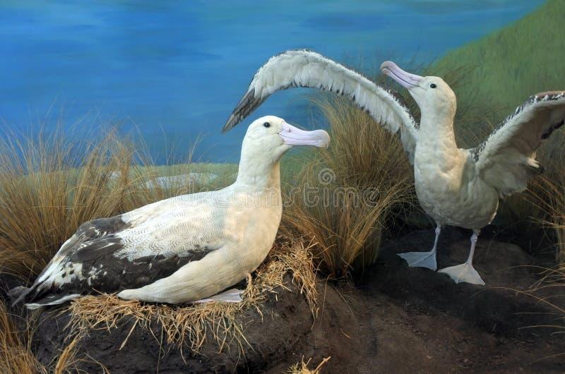 Коротк-замкнутые пары альбатроса стоковое фото