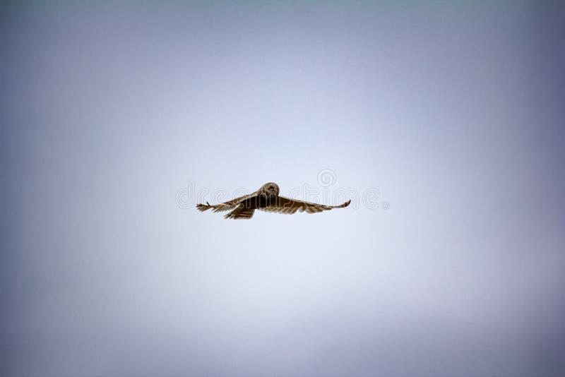 Коротк-ушастый сыч болота сыча, flammeus Австралийской службы безопасности и разведки летает над гнездом стоковое изображение