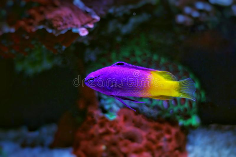 Королевские рыбы аквариума Gramma стоковое фото rf