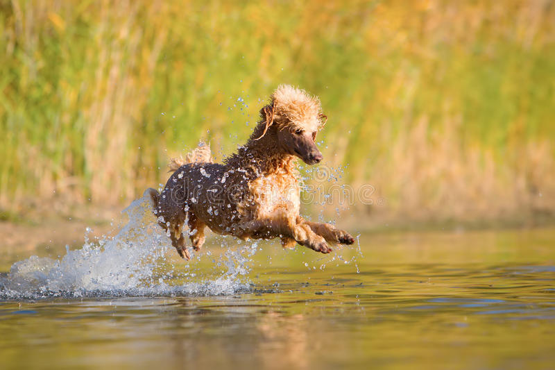 Королевский пудель скача в воду стоковое фото