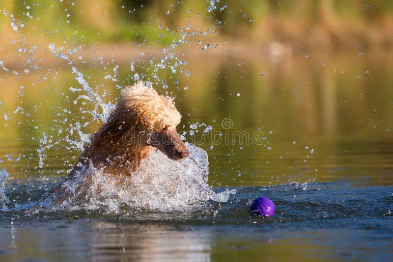 Королевский пудель скачет в воду стоковые изображения