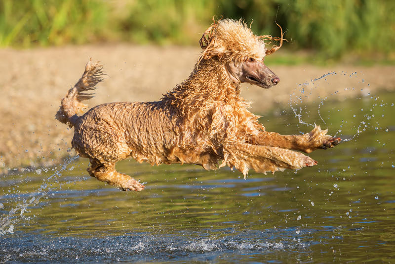 Королевский пудель скачет в воду стоковое фото
