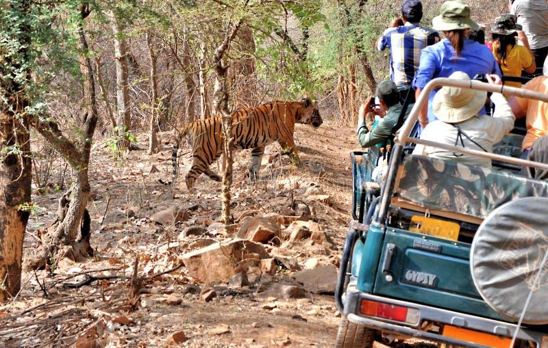 Королевский тигр Бенгалии в одичалом стоковые изображения rf