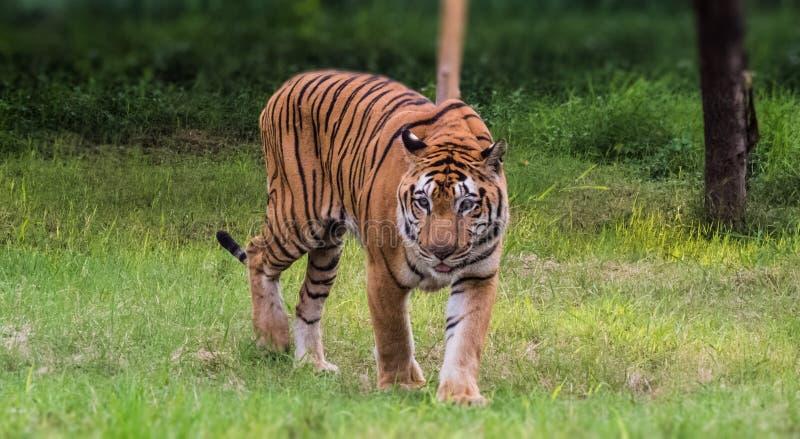 Королевский тигр Бенгалии идя с гордостью в лесе стоковое фото rf